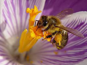 Bal arılarının taksonomisi, vücut yapıları ve gelişme dönemleri