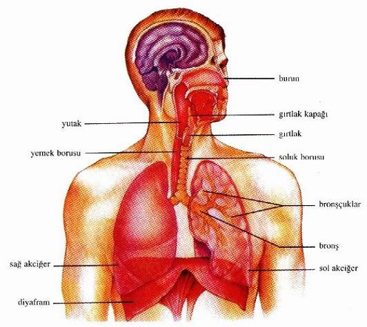 Vücudumuzu Tanıyalım Bilim Ve Sağlık